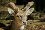 Dama dama: Fallow deer - Damhirsch. by Pattarchus