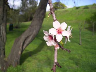 Apple Blossoms by GreenEggsAndHam1998