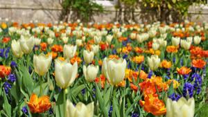 Liliaceae Tulipa by Mez10000
