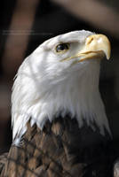 The Proud Eagle by 8TwilightAngel8