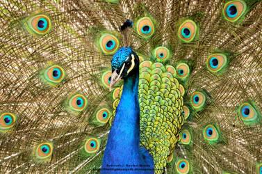 Alluring Peacock by 8TwilightAngel8