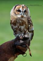 Tawny Owlet by 8TwilightAngel8