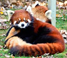 Cuddly Pandas by 8TwilightAngel8