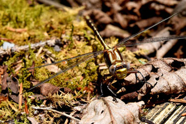 Forest Dragonfly by RationalParadox