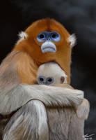 Golden Monkey by niveky