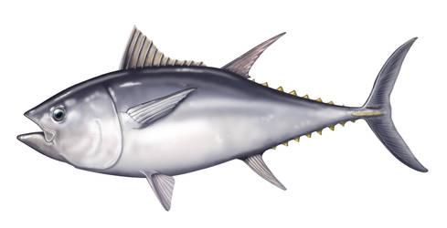 Bluefin Tuna 02 by Markhal