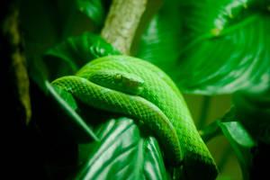 Veri Verde Vipora by robert-kim-karen