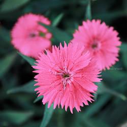 Pink Star by Zayoon