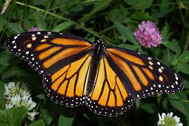 A monarch butterfly i found in a garden :D by vety122