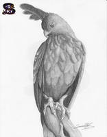 The Changeable Hawk-eagle2 - pencil sketch by sammacha