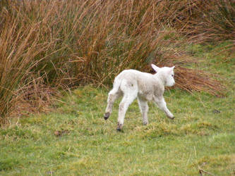 Lamb 01 by Axy-stock