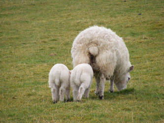 Sheep and Lambs 07 by Axy-stock