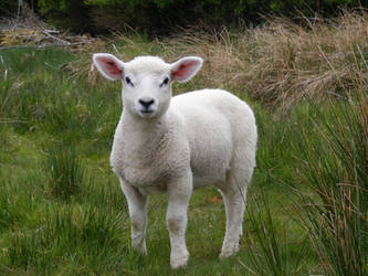 Lamb 07 by Axy-stock