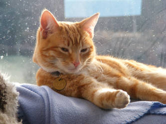 Ginger Cat 03 by Axy-stock