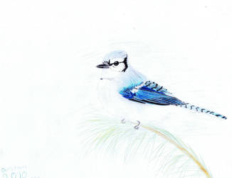 Christmas Blue Jay by dragongirl76