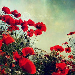 poppies by ZanaSoul