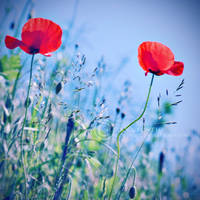 Dancing poppies by ZanaSoul