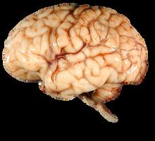 Brain FREE Transparent PNG by AbsurdWordPreferred