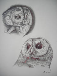 Rough Sketches of Spotted Owls by Amanock