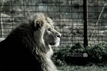 Lion 2 by NicklasAndersen