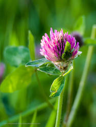 Purple Clover by philemerson