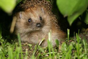 Hedgehog by l6visyda