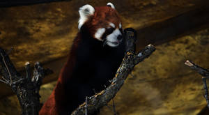 red panda by Tyrose
