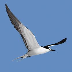 Sooty tern by LunaticSqirrel