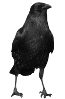 crow 15 by peroni68