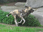 African Wild Dog Stock 1 by HOTNStock