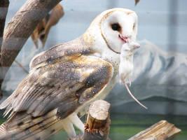 Owl Stock 5: Barn Owl by HOTNStock