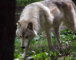 Timber Wolf Stock 3 by HOTNStock