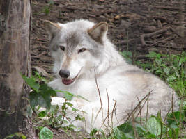 Timber Wolf Stock 4 by HOTNStock