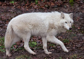 White Wolf Stock 12 by HOTNStock