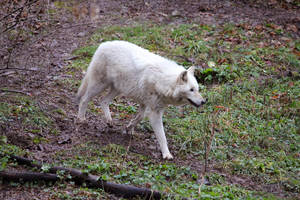 White Wolf Stock 19 by HOTNStock