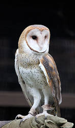Owl Stock 10: Barn Owl by HOTNStock