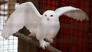 Owl Stock 14: Snowy by HOTNStock