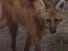 Maned Wolf Stock 1 by HOTNStock
