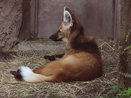 Maned Wolf Stock 3 by HOTNStock