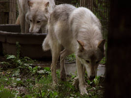 Timber Wolf Stock 9 by HOTNStock