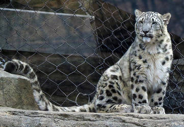 Snow Leopard Stock 18 by HOTNStock