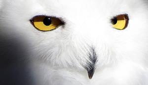 Owl Stock 16: Snowy by HOTNStock