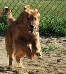 Dog Stock 6: Golden Retriever Running by HOTNStock