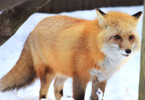 Red Fox Stock 9 by HOTNStock