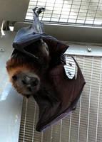 Bat Stock 1: Flying Fox by HOTNStock