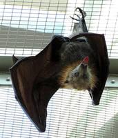 Bat Stock 2: Flying Fox by HOTNStock