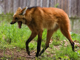 Maned Wolf Stock 5 by HOTNStock