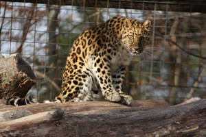 Amur Leopard Stock 20 by HOTNStock
