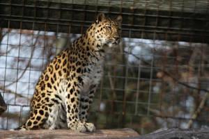 Amur Leopard Stock 21 by HOTNStock