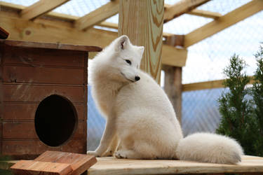 Arctic Fox Stock 9 by HOTNStock